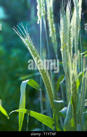 Ryes of spike growing in the garden. Rye field, summer background. Crop on farm. Stem with seed for cereal bread. Agriculture harvest growth. - Stock Photo