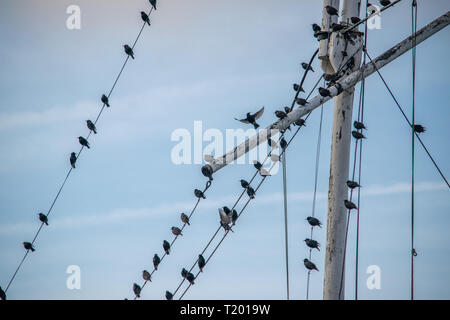 Starlings sitting on Flag pole in Rye Sussex and one is taking off. - Stock Photo