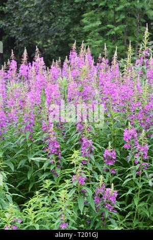 Big field of rosebay willowherb Chamerion angustifolium flowering with pink flowers - Stock Photo