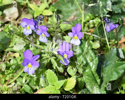 Wild pansy flowers Viola tricolor - Stock Photo