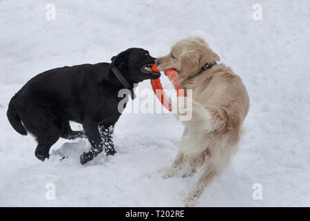 Cute golden retriever and labrador retriever are playing with his toy on the white snow. Pet animals. - Stock Photo