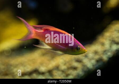 Purple Queen Anthias, Pseudanthias tuka, coral reef fish, Salt water marine fish, beautiful pink and yellow fish with tropical corals in background, a - Stock Photo