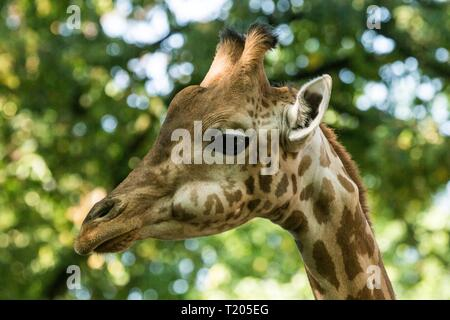 The giraffe (Giraffa camelopardalis), African even-toed ungulate mammal, the tallest of all extant land-living animal species, portrait of beautiful a - Stock Photo