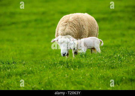 Texel Ewe, female sheep with newborn lamb.  A tender moment between mother and baby lamb in lush green meadow. Landscape, Horizontal. Space for copy - Stock Photo