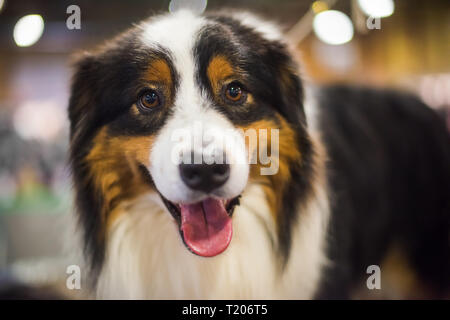 Close-up portrait of an Entlebucher Sennenhund with tricolor coat or Entlebucher Mountain Dog with small, triangular ears and rather small brown eyes. - Stock Photo