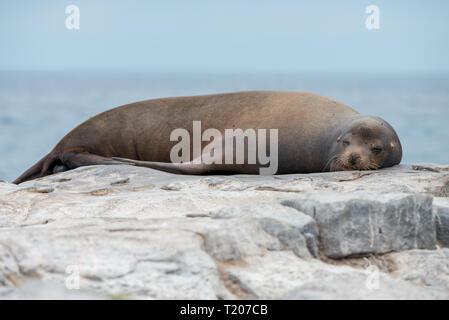 A Galapagos Sea Lion (Zalophus wollebaeki) sleeping on a rocky outcrop in The Galapagos Islands - Stock Photo