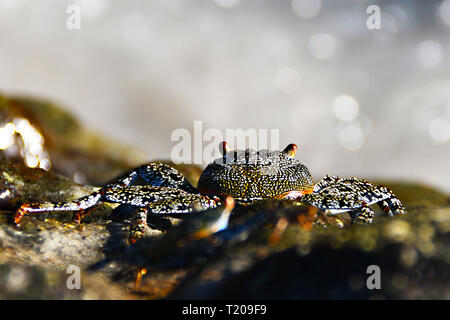 Ghost crab on Playa Biesanz in Quepos, Costa Rica