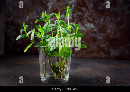 Sprigs of mint with roots in a glass on old wooden background. Copy Space. Growing mint in water at home. - Stock Photo