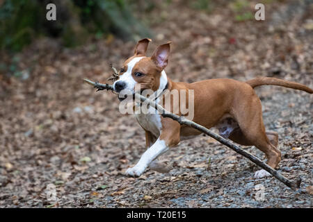 American Staffordshire Terrier puppy playing in forest. - Stock Photo