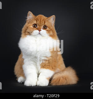 Cute red with white British Longhair cat kitten, sitting  facing front. Looking at lens with big round brown orange eyes. Isolated on black background - Stock Photo