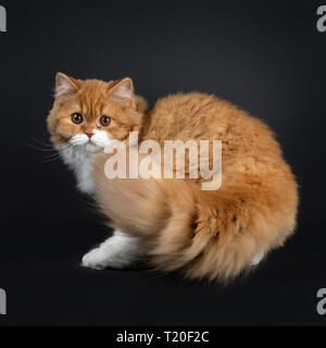 Cute red with white British Longhair cat kitten, walking, turning side ways. Looking at lens with big round brown orange eyes. Isolated on black backg - Stock Photo