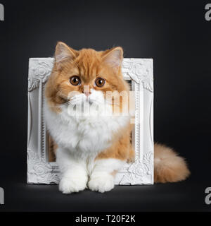 Cute fluffy red with white British Shorthair cat kitten sitting through white photo frame. Looking at camera with big round brown orange eyes. isolate - Stock Photo
