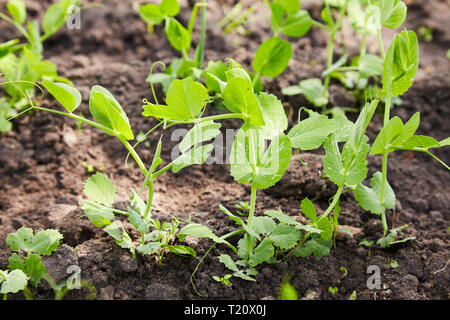 Sprouts of young peas grow on the bed. A patch with young green peas. young green peas plant in the soil - Stock Photo