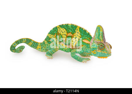 close view of a beautiful  green colorful  chamaeleo calyptratus with his spiral tail. Species also called veiled, cone-head or yemen chameleon. - Stock Photo