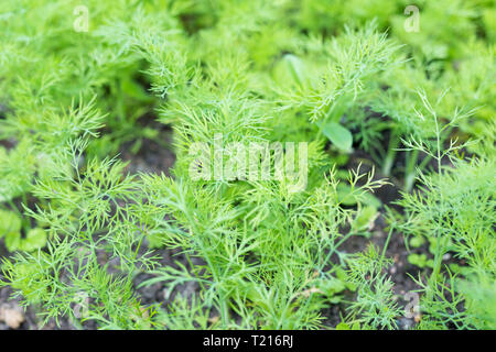 Young dill grows in the garden outdoors. Growing dill spice in open field. Spring. - Stock Photo