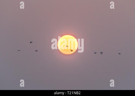 Mousehole, Cornwall, UK. 30th Mar, 2019. UK Weather. Early morning mist soon lifted at sunrise, with the promise of another fine day ahead for south west Cornwall. Gannets flying in front of the early morning sun. Credit: Simon Maycock/Alamy Live News - Stock Photo