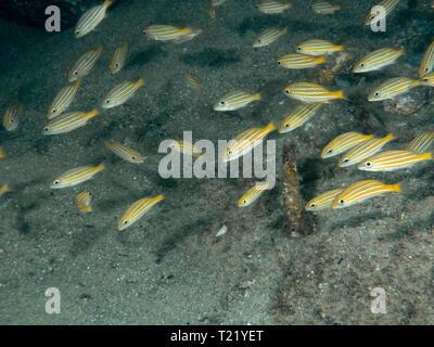 Juvenile Blue and Gold Snappers (Lutjanus viridis) - Stock Photo