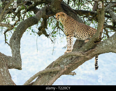 A Cheetah, Acinonyx jubatus jubatus, sits in a tree in Maasai Mara National Reserve, Kenya - Stock Photo