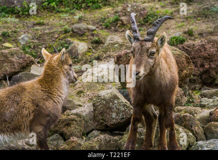 Female alpine ibex mother standing next to her kid, wild goats from the european alps - Stock Photo