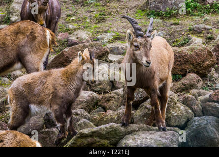 mother alpine ibex with her young kid and other family members, wild goats from the mountains of europe - Stock Photo