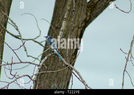A Blue Jay (Cyanocitta cristata) sitting a tree in winter. shot in Southern Ontario. - Stock Photo