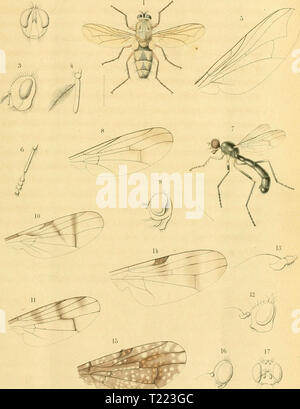 Archive image from page 44 of Diptera (1898) - Stock Photo