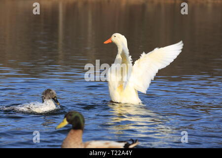 Playing duck in the lake - Stock Photo