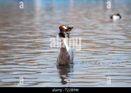 The great crested grebe is a member of the grebe family of water birds noted for its elaborate mating display. - Stock Photo