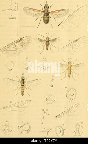 Archive image from page 34 of Diptera (1898) - Stock Photo
