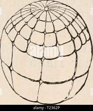 Archive image from page 200 of Die Zelle und die Gewebe Die Zelle und die Gewebe. Grundzüge der Allgemeinen Anatomie und Physiologie  diezelleunddiege02hert Year: 1893-1898