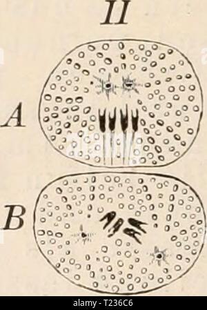 Archive image from page 207 of Die Zelle und die Gewebe - Stock Photo