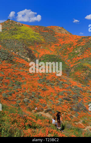 Poppy flowers, Walker Canyon Conservation Area, Lake Elsinore, Riverside County, California, USA - Stock Photo