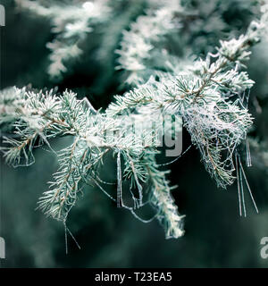 Frost-covered Conifer in winter, close-up - Stock Photo