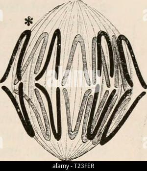 Archive image from page 168 of Die Zelle und die Gewebe - Stock Photo