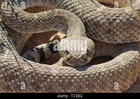 Western Diamondback Rattlesnake (Crotalus atrox) - Stock Photo