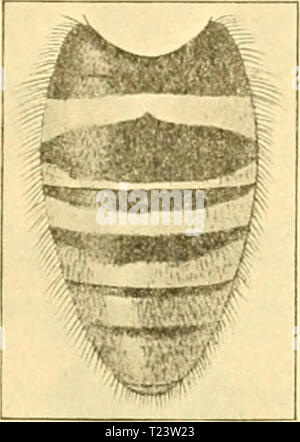 Archive image from page 278 of Diptera Brachycera (1920) - Stock Photo