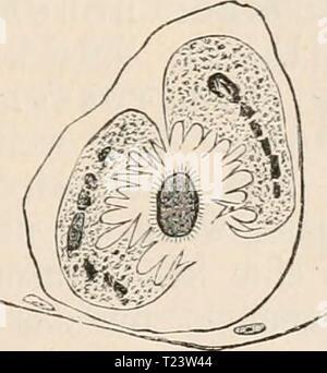 Archive image from page 280 of Die Zelle und die Gewebe Die Zelle und die Gewebe. Grundzüge der Allgemeinen Anatomie und Physiologie  diezelleunddiege02hert Year: 1893-1898