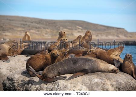South American sea lion, Southern Sea Lion or Patagonian sea lion (Otaria flavescens), colony takes a sunbad on a rock, Deseado, Patagonia, Argentina - Stock Photo