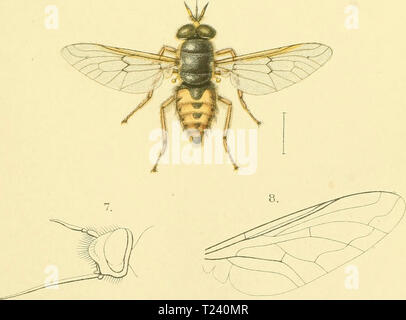 Archive image from page 492 of Diptera (1898) - Stock Photo