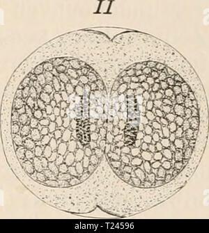 Archive image from page 241 of Die Zelle und die Gewebe Die Zelle und die Gewebe. Grundzüge der Allgemeinen Anatomie und Physiologie  diezelleunddiege02hert Year: 1893-1898