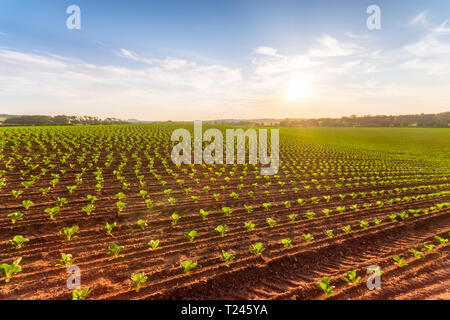 United Kingdom, Scotland, East Lothian, field of young cauliflower plants, Brassica Oleracea - Stock Photo
