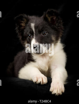 Portrait of Border Collie puppy in front of black background - Stock Photo