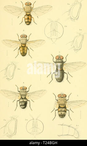 Archive image from page 580 of Diptera (1898) - Stock Photo