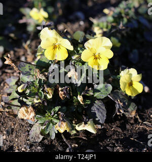 Plenty of pretty light yellow pansy flowers blooming. Photographed in Nyon, Switzerland during a beautiful sunny spring day. Lovely, detailed photo. - Stock Photo