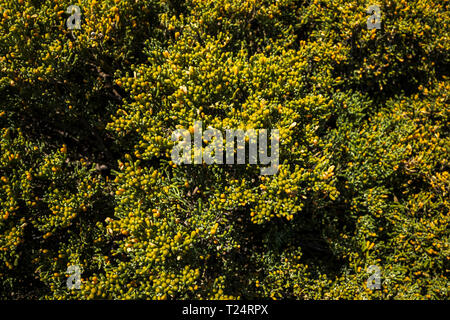 Zygophyllum fontanesii, bean caper, creosote bush, growing in the Malpais de la Rasca, Palm Mar, Tenerife, Canary Islands, Spain - Stock Photo