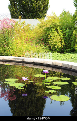 Two blooming, purple waterlilies in a man made pond surrounded by flowering shrubs which are reflected in the water at the Denver Botanical Garden in  - Stock Photo