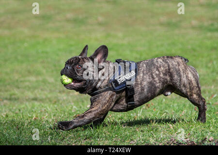 French Bulldog running with a ball - Stock Photo