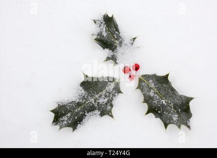 Ilex aquifolium -; Holly berries covered in snow - Stock Photo
