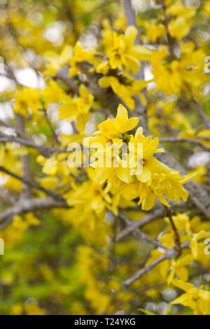 Forsythia flowers in Spring. - Stock Photo