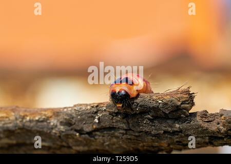 Larva of a goat moth (Cossus Cossus) on the bark of a tree - Stock Photo